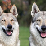 Top 10 Most Expensive Dog Breeds In The World: Are Akitas Cheaper Than Samoyeds?
